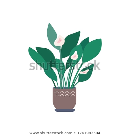 Calla Flower in Pot, Flowerpots of Greenhouse Stock photo © robuart