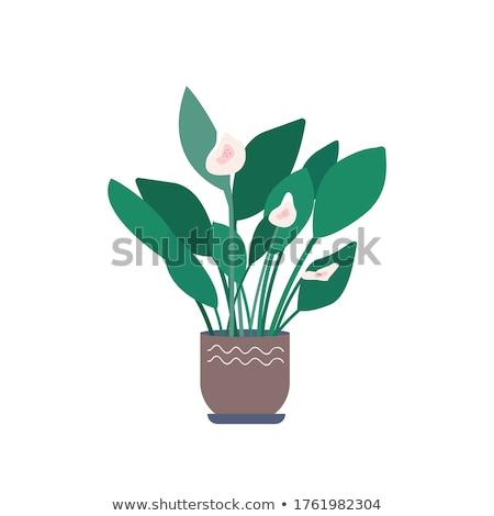 Calla Flower in Pot, Flowerpots of Greenhouse Stock photo © robuart