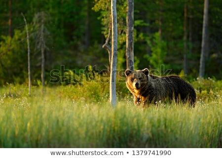 Бурый · медведь · вектора · изолированный · животного · иллюстрация - Сток-фото © bluering