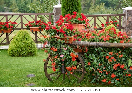 A trolley with geraniums in the autumn in the garden Stock photo © galitskaya