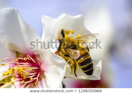 Spring. Flowering trees. A bee pollinating a flower stock photo © Borissos