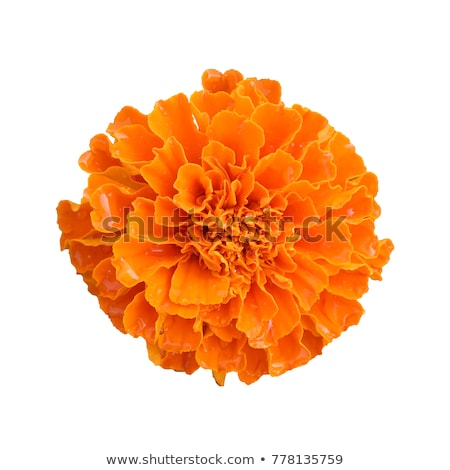 Marigold flowers Stock photo © homydesign