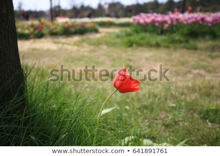 Solitary poppy flower Stock photo © tomistajduhar