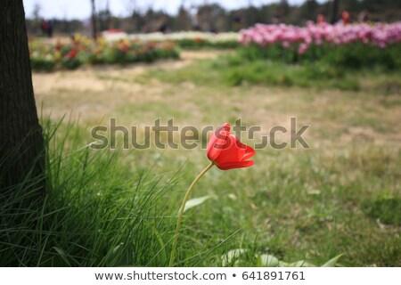 papoula · flor · brilhante · verão · dia · campo · de · trigo - foto stock © tomistajduhar