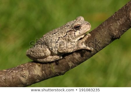 Gray Tree Frog Stock photo © macropixel