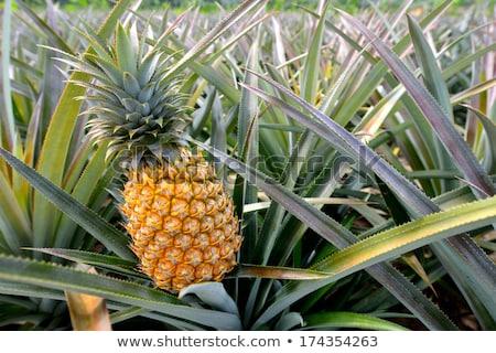 パイナップル · 工場 · トロピカルフルーツ · 空 · テクスチャ · 食品 - ストックフォト © michey