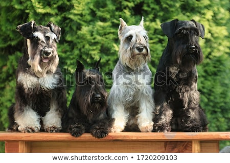 Black miniature schnauzer Stock photo © Melpomene