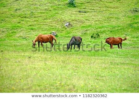 Rebanho cavalos Equador marrom agricultores Foto stock © rhamm