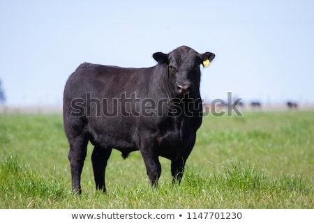 Black Bull Grazing Stock photo © rhamm