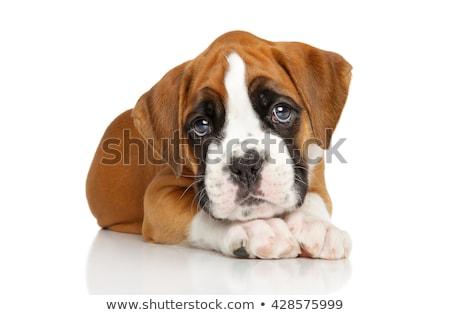 Kutyakölyök boxoló ül fából készült pad baba Stock fotó © eriklam