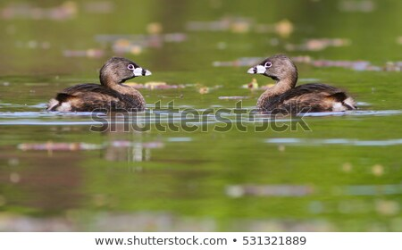 Pair of Pied Billed Grebe Stock photo © rhamm