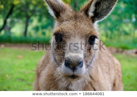 Bennett wallaby kangaroo Stock photo © Elenarts