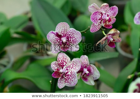 polka dot Phalaenopsis orchid Stock photo © nito