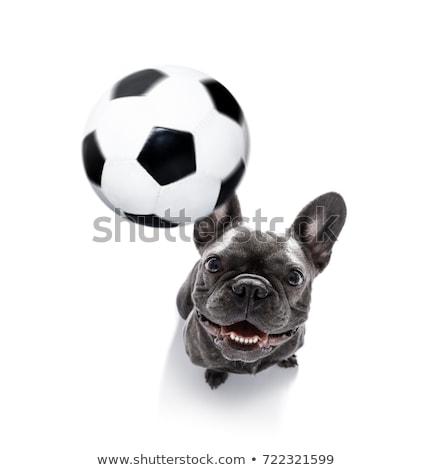 Futball kutya pitbull egy kettő golyók Stock fotó © aspenrock