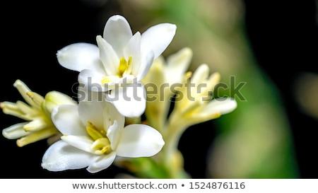 tuberose stock photo © bdspn