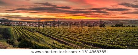 vinha · República · Checa · natureza · fazenda · plantas · videira - foto stock © phbcz