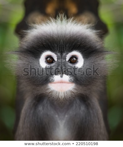 Close up face of Dusky leaf monkey Stock photo © Yongkiet