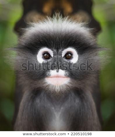 Close up face of Dusky leaf monkey Stock photo © Yongkiet