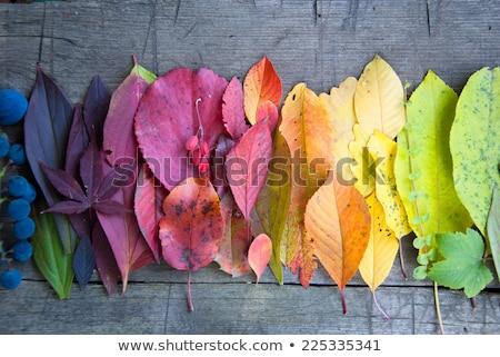 Najaar gekleurd bladeren donkere eik ontwerp Stockfoto © olandsfokus