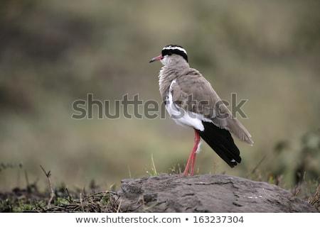 Sessão gramado África do Sul natureza pássaro verde Foto stock © dirkr