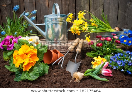 Daffodils and primroses with a watering can and a shovel Stock photo © Zerbor