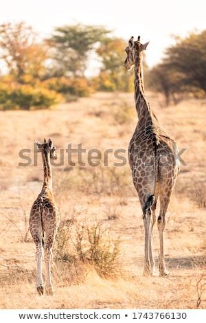 キリン 草 野生動物 公園 コルク アイルランド ストックフォト © morrbyte