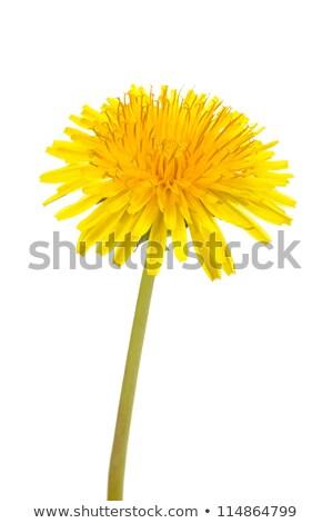 Amarillo dientes de león primavera verde primavera Foto stock © Anterovium