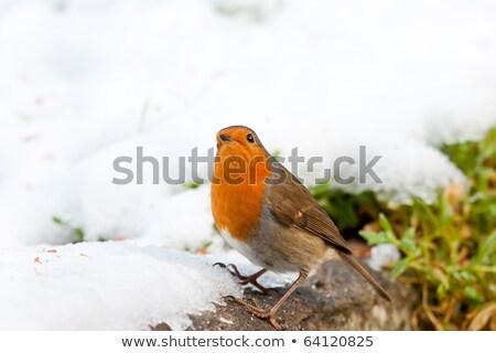 natal · neve · olhando · céu · gelo · vermelho - foto stock © rekemp