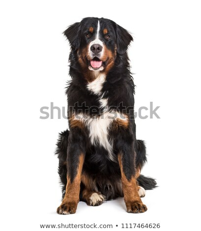 Bernese mountain dog sitting Stock photo © DNF-Style