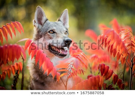 Wolf hond witte Stockfoto © cynoclub