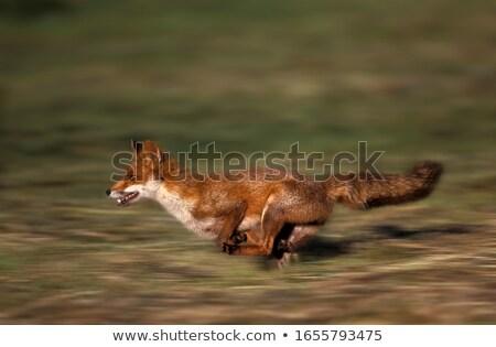 Kırmızı tilki profil kafa atış yetişkin Stok fotoğraf © suerob