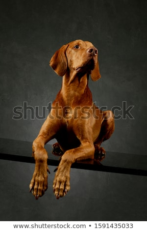 hungarian vizsla lying in dark background stock photo © vauvau