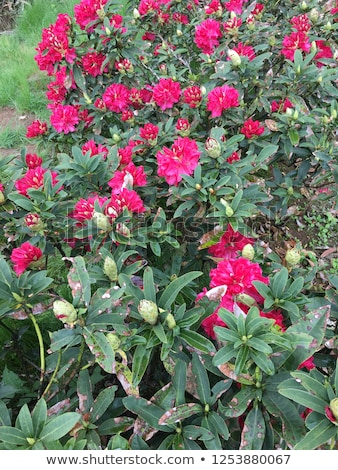 Rhododendron aganniphum flowers in full bloom in spring Stock photo © Klinker