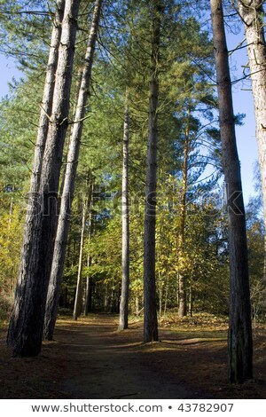 Long Shadows from Tall Trees in a Sunlit Park Stock photo © Frankljr