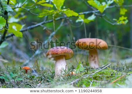 Groot paddestoel eiken bosje groeien witte Stockfoto © romvo