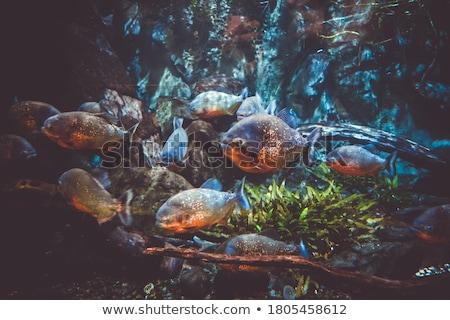 Verde piranha mar peixe natureza oceano Foto stock © colematt