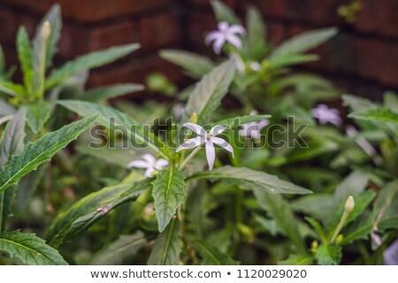Star of bethlehem, plant in Malaysia Stock photo © galitskaya