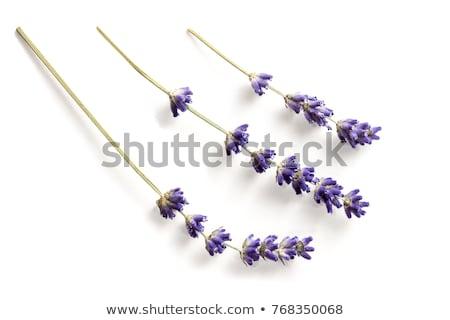 lawendy · kwiaty · świeże · wyschnięcia · suszy · biały - zdjęcia stock © agfoto