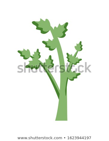 Celery Cultivated Parsley Plant, Succulent Leaf Stock photo © robuart