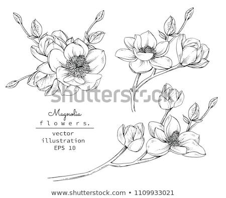 Vektor magnolia virágok fehér virágok tavasz ág Stock fotó © odina222