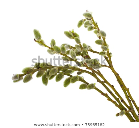 single pussy willow branch with catkins stock photo © sahua