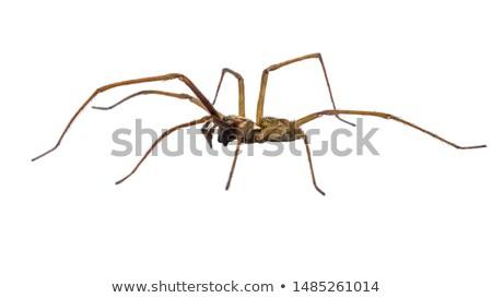 spider in white background stock photo © gewoldi