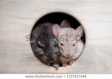 チンチラ グレー 孤立した 白 友達 ペット ストックフォト © Pakhnyushchyy