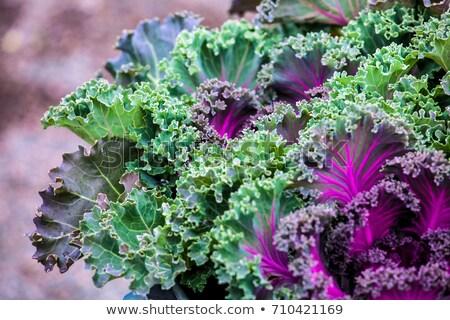 свежие · фиолетовый · капуста · завода · листьев - Сток-фото © stoonn