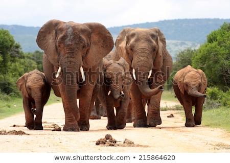 Iki filler fil park Güney Afrika Stok fotoğraf © timwege