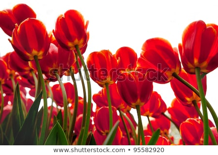 abstract red flower at crimson background stock photo © michey