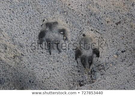 Dog Paw Marks on Wet Winter Beach Stock photo © eldadcarin