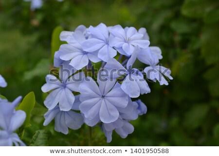 Blauw · prinses · bloem · star - stockfoto © stocker
