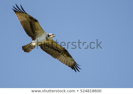 Soaring Osprey  Stock photo © saddako2