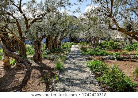 庭園 エルサレム オリーブ カバー 雪 ツリー ストックフォト © AndreyKr